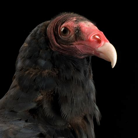 Turkey Vulture | National Geographic