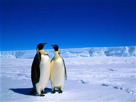 Penguin Christmas wallpapers, Christmas in Antarctica penguins, penguin's Family Christmas Wallpapers